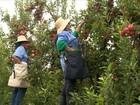 Clima deve provocar quebra de 15% na safra de maçã do RS