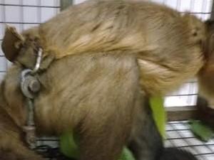 Macaco foi enviado para centro de triagem  (Foto: Grasiela Pacheco/Naturatins/Divulgação)