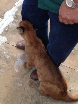 Filhote de onça parda se perdeu da mãe e foi recapturado (Foto: André Godinho/ TV Tem)