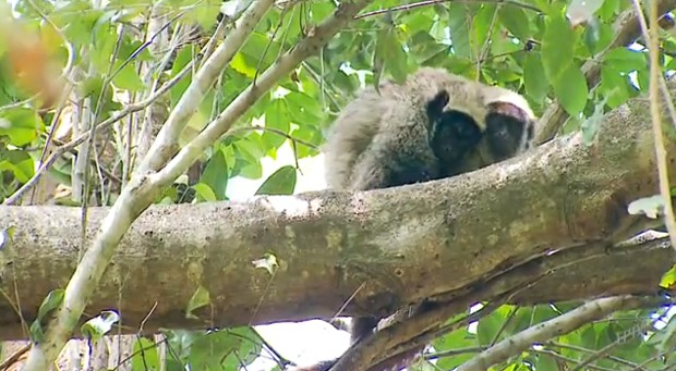 Ameaçados de extinção, os macacos guigós formam casais que permanecem juntos até o fim da vida  (Foto: Reprodução)