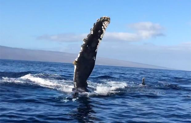 Imagem mostra baleia-jubarte de lado, com a nadadeira para fora da água, indo em direção ao barco (Foto: Reprodução/YouTube/RyanNap)