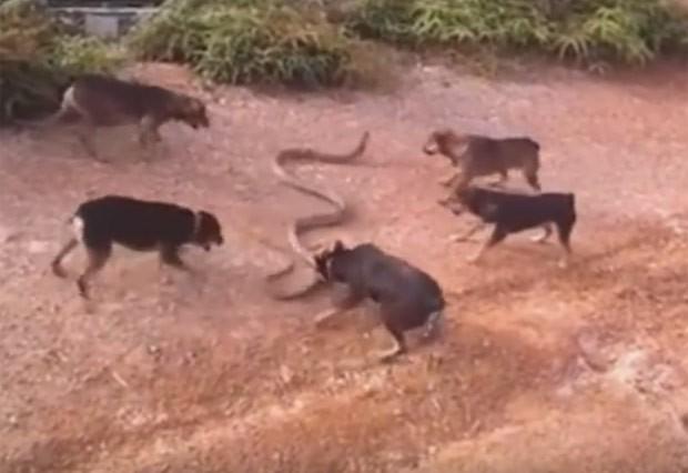 Cinco cães foram filmados atacando uma cobra enorme (Foto: Reprodução/YouTube/Tạp Chí Số)