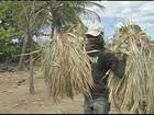 Seca reduz a produção das palmeiras de carnaúba no Ceará
