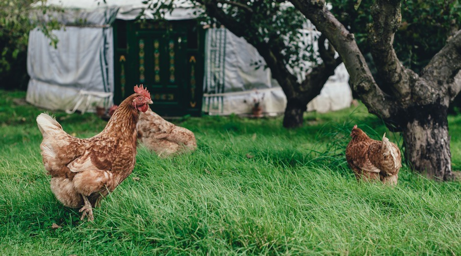 Dentre as mais de 50 opções de cursos, o de criação de galinhas caipiras está entre os mais procurados (Foto: Pexels)