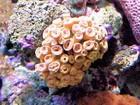 MPF vai discutir invasão de 'coral assassino' em audiência pública