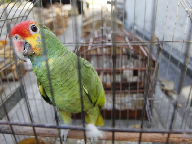 Seguno do GAM, papagaio chauá corre risco de extinção (Foto: Vagner Basílio/ Ururau)