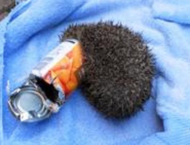 Em 2012, um ouriço foi encontrado com a cabeça entalada em uma lata de cenouras. O animal foi achado por um casal em uma estrada em King's Lynn, Norfolk, no Reino Unido. O ouriço foi resgatado por agentes da Sociedade Real para a Prevenção da Crueldade aos Animais (RSPCA) e levado para um hospital veterinário (Foto: Divulgação/RSPCA)