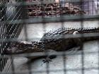 Filhote de jacaré de 1,5 metro é capturado em bairro de Panorama