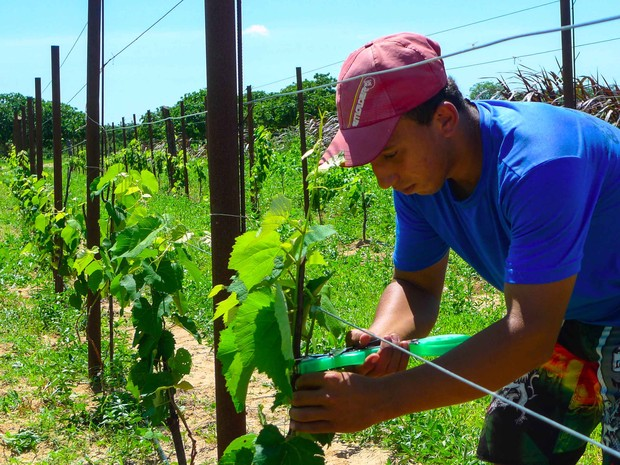 Agricultores da Agrovila Paulo Freire são os primeiros a cultivar a variedade (Foto: Fred Veras/Sebrae)