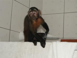 Macaco tentou se esconder no banheiro (Foto: Carlos Tupinambá/Divulgação)