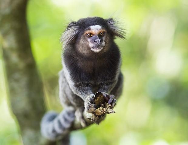 Saguis que estão no santuário ecológico. (Foto: Thinkstock)