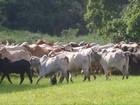 Polícia recupera 72 cabeças de gado roubadas de fazenda em Guará, SP