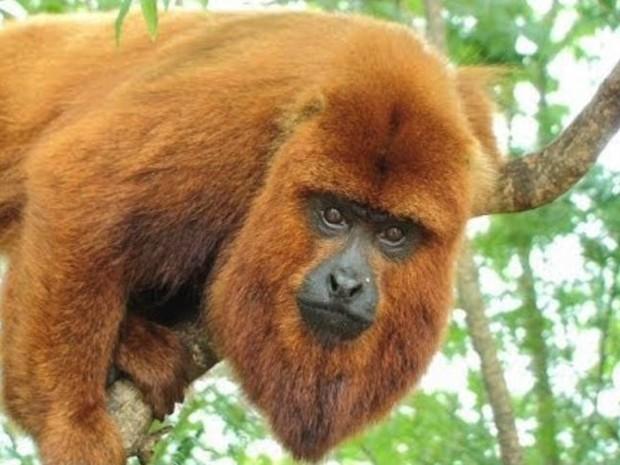 Macacos morrem e suspeita é de febre amarela no Espírito Santo (Foto: Reprodução/ TV Gazeta)