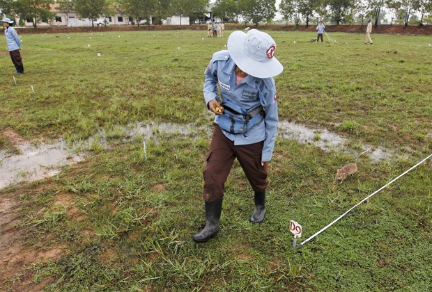 Ratos investigam campo para buscar bombas. Eles ficam presos a cordões  (Foto: Reuters/Samrang Pring)