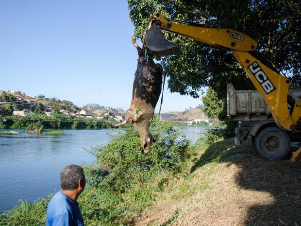 Vaca morta é retirada do Rio Paraíba do Sul (Foto: Gabriel Borges/Prefeitura PMBM)