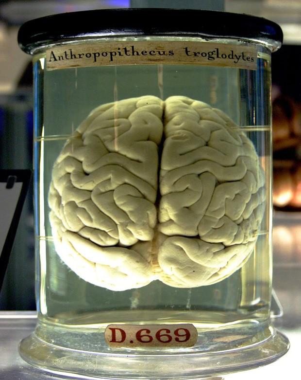 Cérebro de chimpanzé é visto no Museu de Ciência de Londres  (Foto: Gaetan Lee/Via Wikimedia Commons)