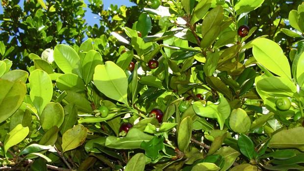 Frutos desta espécie podem ser consumidos in natura e também em compotas, doces e bebidas (Foto: Rafael Paranhos Martins)