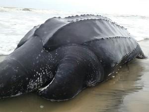 Tartaruga de couro foi achada morta em Ilha Comprida, SP (Foto: G1)