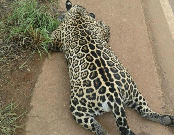 Onça foi encontrada morta à beira de estrada em Mato Grosso neste sábado (23) (Foto: Leilson Vieira/Arquivo pessoal)