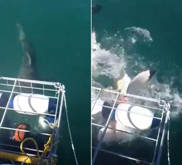 Tubarão deixou mergulhadores apavorados ao tentar invadir gaiola de proteção (Foto: Reprodução)