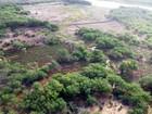 Operação no Sertão de PE e AL erradica 230 mil pés de maconha