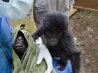 Bebês gorilas órfãs levantam temor de onda de tráfico na África