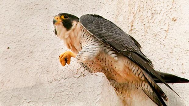 falcão-peregrino3 (Foto: Arquivo/TG)