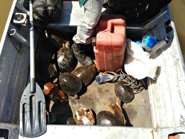 Fiscais da Sema apreenderam 13 tartarugas-da-amazônia em apenas uma semana (Foto: Divulgação/Sema-MT)