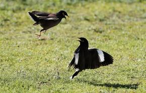 Pássaros pareciam trocar 'golpes de artes marciais' em Israel (Foto: Ahmad Gharabli/AFP)