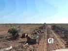 Mortos pela seca, cajueiros são cortados e viram lenha no RN