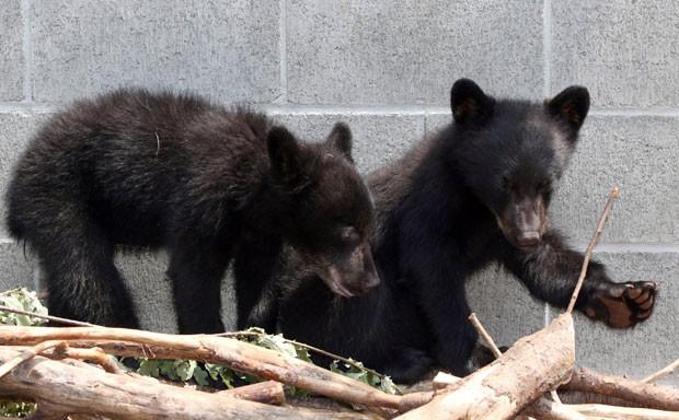 Filhotes de urso Athena e Jordan estão na instituição de proteção ambiental North Island Wildlife Rocover Association, em foto de 8 de julho  (Foto: Chad Hipolito/The Canadian Press via AP)