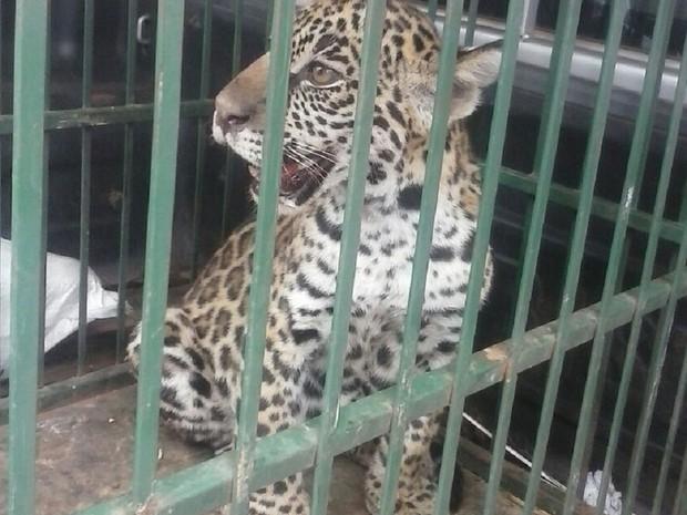 Filhote foi capturado após se desgarrar da mãe (Foto: Polícia Ambiental/Divulgação)
