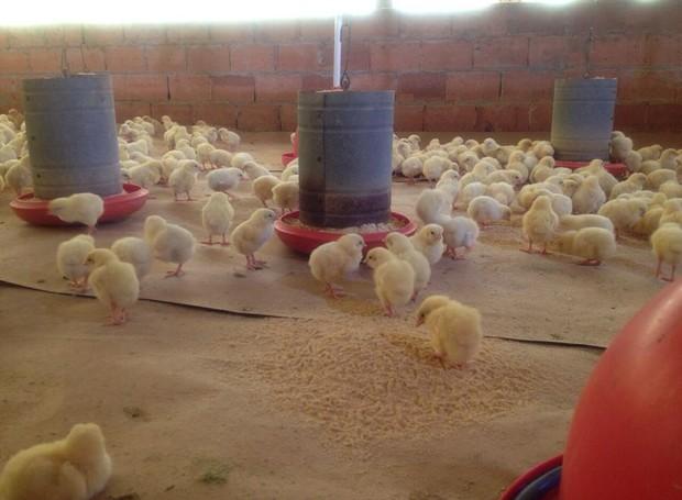 As aves comem ração vindas de fazendas certificadas (Foto: RBS TV/Divulgação)