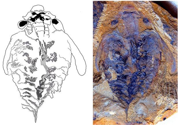 Cérebro fossilizado de Lyrarapax unguispinus foi descoberto (Foto: Reuters/Nicholas Strausfeld/University of Arizona)
