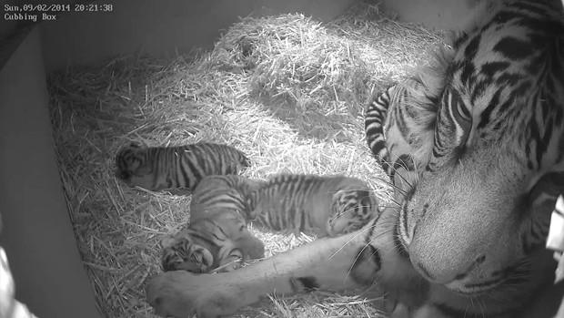 Filhotes de tigre-de-sumatra ainda não tiveram o sexo determinado, de acordo com zoológico (Foto: AP Photo/Zoological Society of London)