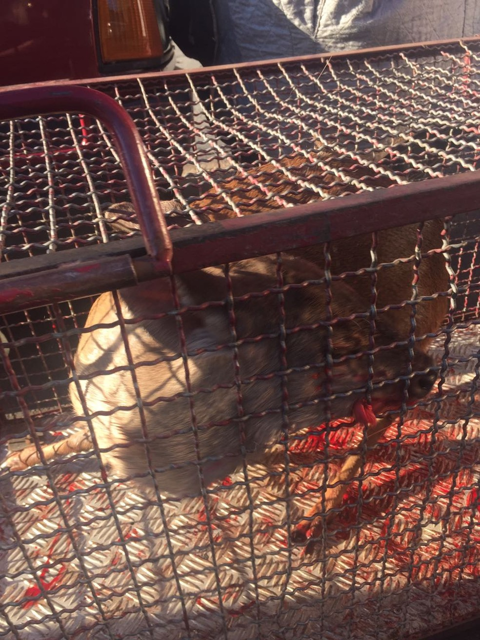 Animal estava arisco com vários ferimentos no momento do resgate. (Foto: Defesa e Proteção Animal de Marília / Divulgação)