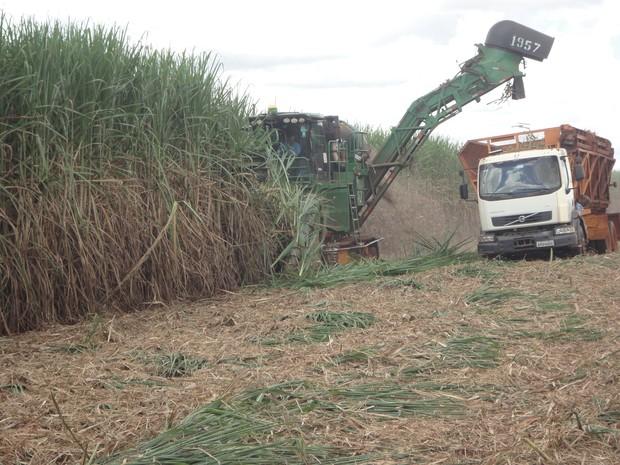 Programa de melhoramento genético da cana-de açúcar aumentou em uma tonelada por ano a produtividade no estado (Foto: Divulgação)