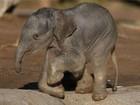 Elefante-asiático com três dias de vida é fotografado em zoo inglês