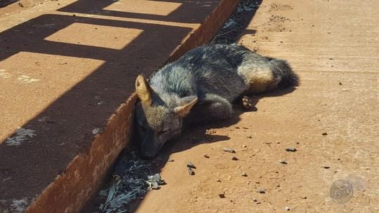 Raposa morre atropelada na Rodovia Altino Arantes em Orlândia, SP