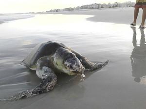 tartaruga aparece em cabo frio (Foto: Felipe de Oliveira/Arquivo pessoal)