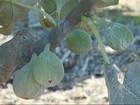 Clima dificulta o desenvolvimento do figo e afeta a produtividade em SP