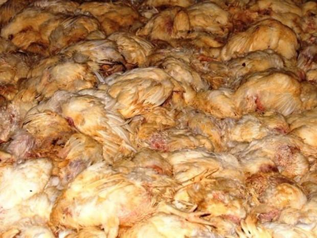 Cerca de 30 mil frangos morreram por causa do calor em Novo Horizonte do Sul (Foto: Gessé André/ TV Morena)