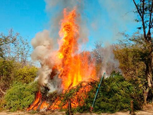 Cerca de 57.600 pés de maconha foram incinerados (Foto: Divulgação/Polícia Militar)