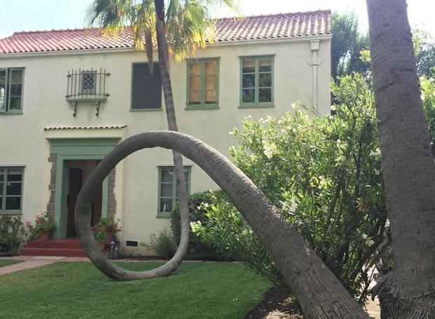 Esta palmeira caiu, mas permaneceu forte e curvou seu tronco (Foto: Reprodução)
