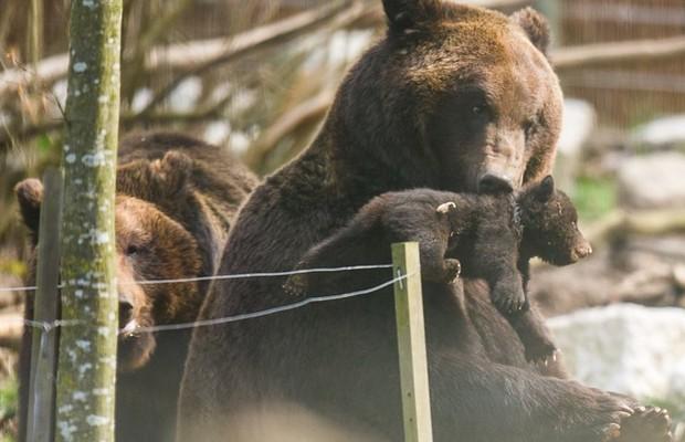 Após a morte do Filhote 3, o zoológico observou o comportamento do pai e esterilizou Misha (Foto: Reprodução/Facebook)