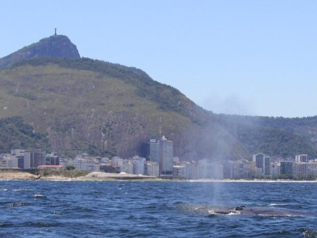 Baleias da espécie Bryde foram vistas na orla carioca (Foto: José Laílson/ Divulgação)