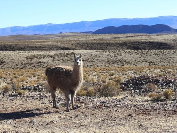 """""""Peludas e nada sociais, as lhamas encantam as paisagens no meio dos cactos e da terra seca."""" (Foto: Dayanna Marques/VC no G1)"""