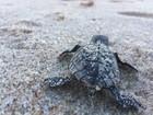 Mais de cinquenta tartarugas nascem na praia de Intermares, em Cabedelo