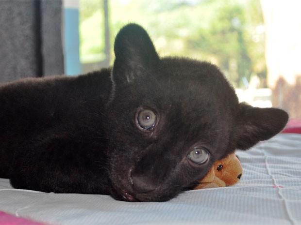 Onça-preta que nasceu no Zoológico de Salvador (Foto: Inema/Divulgação)