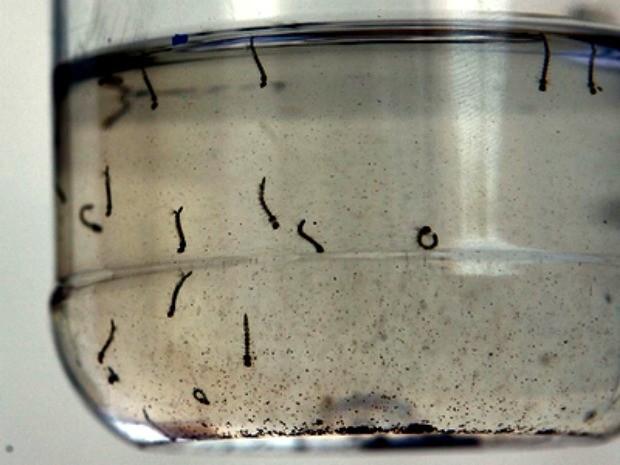 Bioinseticida desenvolvido com fungos da Amazônia mata larvas em até 24 horas (Foto: Edson Silva/Folhapress)